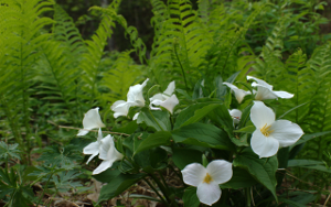 james2432_trilliums_small.png