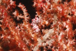 Red Pygmy Seahorse
